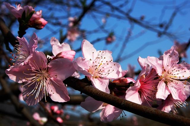 Plum Blossom, Pink, Branches, Blue - Free image - 283115