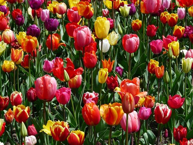 Tulips, Tulpenbluete, Flowers - Free image - 47399